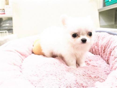 チワワ(ロング)の子犬(ID:1239211178)の8枚目の写真/更新日:2017-07-12