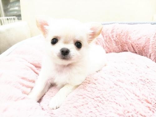 チワワ(ロング)の子犬(ID:1239211179)の1枚目の写真/更新日:2017-07-12