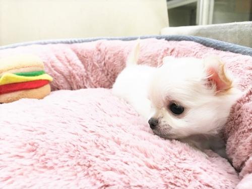 チワワ(ロング)の子犬(ID:1239211179)の2枚目の写真/更新日:2017-07-12