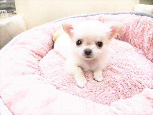 チワワ(ロング)の子犬(ID:1239211179)の3枚目の写真/更新日:2017-07-12