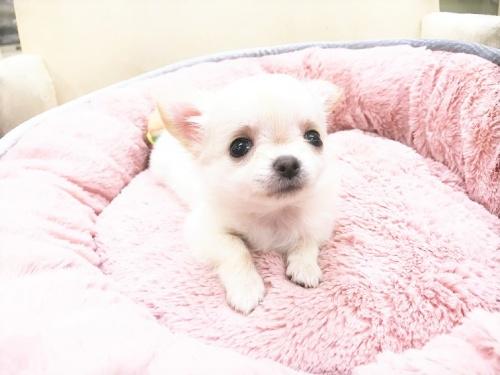 チワワ(ロング)の子犬(ID:1239211179)の6枚目の写真/更新日:2017-07-12