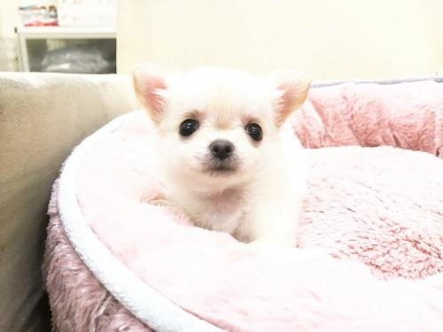 チワワ(ロング)の子犬(ID:1239211179)の7枚目の写真/更新日:2017-07-12