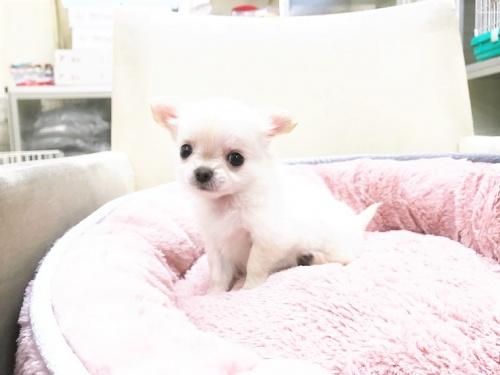 チワワ(ロング)の子犬(ID:1239211179)の8枚目の写真/更新日:2017-07-12