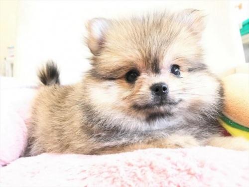 ポメラニアンの子犬(ID:1239211180)の1枚目の写真/更新日:2017-08-01