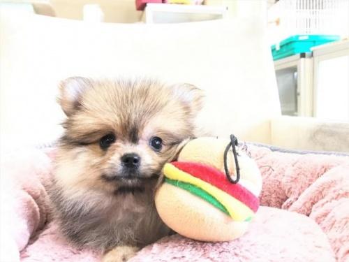 ポメラニアンの子犬(ID:1239211180)の2枚目の写真/更新日:2017-08-01