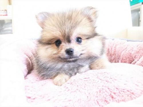 ポメラニアンの子犬(ID:1239211180)の3枚目の写真/更新日:2017-08-01