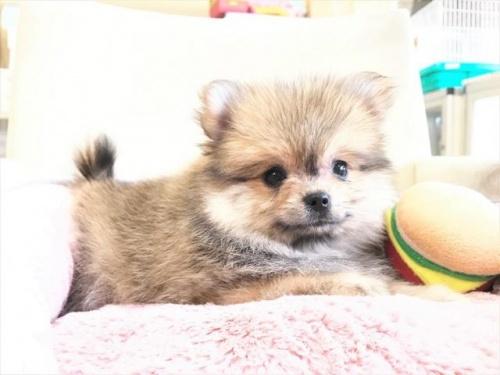 ポメラニアンの子犬(ID:1239211180)の4枚目の写真/更新日:2017-08-01
