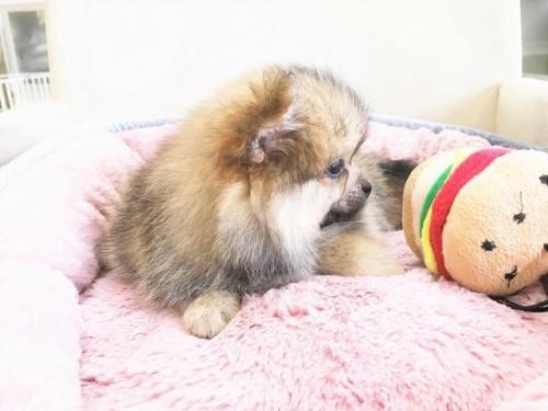 ポメラニアンの子犬(ID:1239211180)の5枚目の写真/更新日:2017-08-01