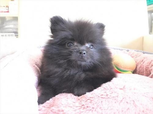 ポメラニアンの子犬(ID:1239211181)の1枚目の写真/更新日:2017-08-01