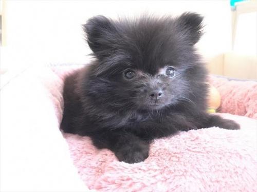 ポメラニアンの子犬(ID:1239211181)の2枚目の写真/更新日:2017-08-01