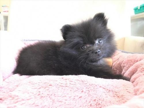 ポメラニアンの子犬(ID:1239211181)の5枚目の写真/更新日:2017-08-01