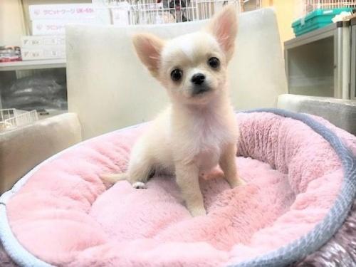 チワワ(ロング)の子犬(ID:1239211185)の1枚目の写真/更新日:2017-09-21