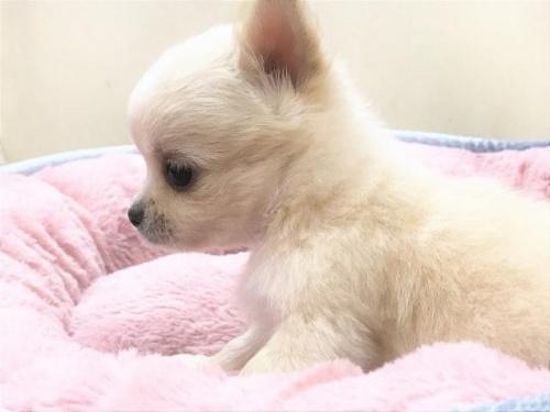 チワワ(ロング)の子犬(ID:1239211185)の2枚目の写真/更新日:2017-09-21