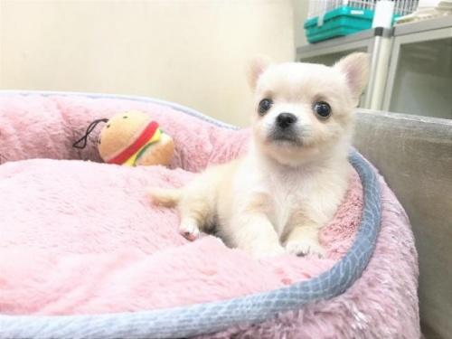チワワ(ロング)の子犬(ID:1239211185)の3枚目の写真/更新日:2017-09-21