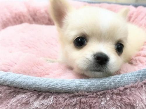 チワワ(ロング)の子犬(ID:1239211185)の4枚目の写真/更新日:2017-09-21