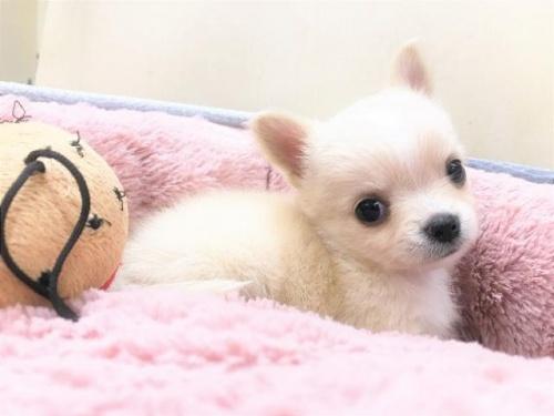 チワワ(ロング)の子犬(ID:1239211185)の5枚目の写真/更新日:2017-09-21
