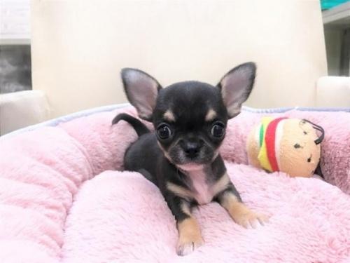 チワワ(スムース)の子犬(ID:1239211186)の1枚目の写真/更新日:2017-09-26