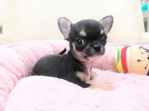 チワワ(スムース)の子犬(ID:1239211186)の2枚目の写真/更新日:2017-09-26