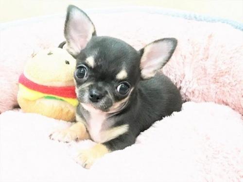 チワワ(スムース)の子犬(ID:1239211186)の3枚目の写真/更新日:2017-09-26