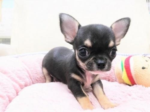 チワワ(スムース)の子犬(ID:1239211186)の4枚目の写真/更新日:2017-09-26