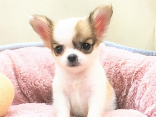 チワワ(ロング)の子犬(ID:1239211187)の1枚目の写真/更新日:2017-10-06