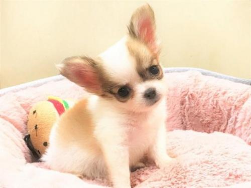 チワワ(ロング)の子犬(ID:1239211187)の2枚目の写真/更新日:2017-10-06