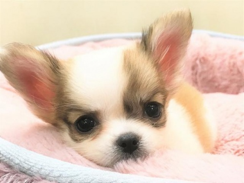 チワワ(ロング)の子犬(ID:1239211187)の3枚目の写真/更新日:2017-10-06