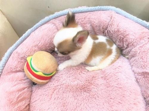 チワワ(ロング)の子犬(ID:1239211187)の4枚目の写真/更新日:2017-10-06