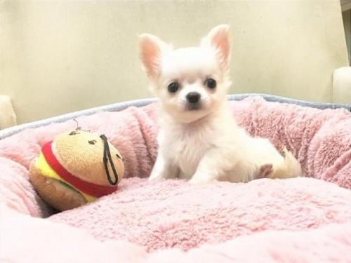 チワワ(ロング)の子犬(ID:1239211188)の2枚目の写真/更新日:2017-10-11