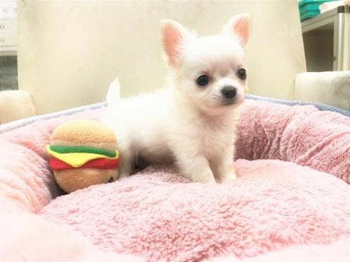 チワワ(ロング)の子犬(ID:1239211188)の3枚目の写真/更新日:2017-10-11