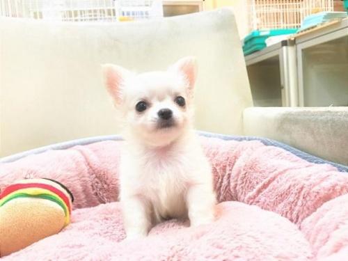チワワ(ロング)の子犬(ID:1239211188)の4枚目の写真/更新日:2017-10-11