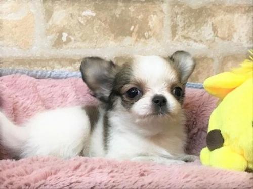 チワワ(ロング)の子犬(ID:1239211189)の1枚目の写真/更新日:2017-11-02
