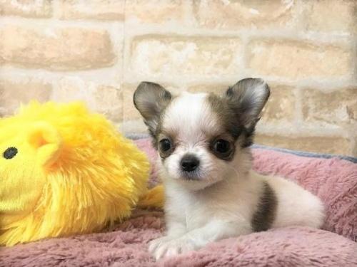 チワワ(ロング)の子犬(ID:1239211189)の2枚目の写真/更新日:2017-11-02
