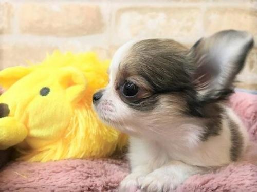 チワワ(ロング)の子犬(ID:1239211189)の4枚目の写真/更新日:2017-11-02