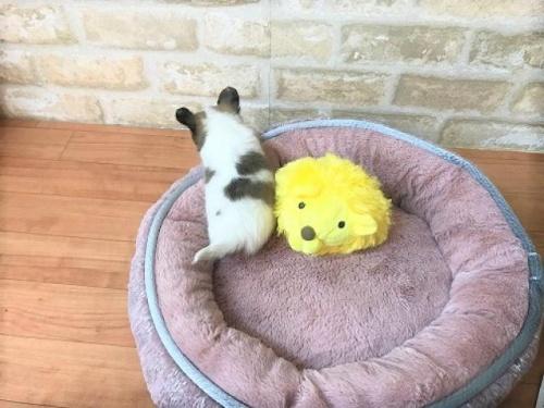 チワワ(ロング)の子犬(ID:1239211189)の5枚目の写真/更新日:2017-11-02