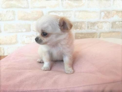 チワワ(ロング)の子犬(ID:1239211190)の3枚目の写真/更新日:2018-01-23