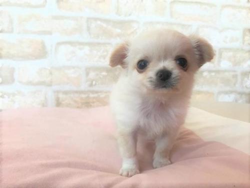 チワワ(ロング)の子犬(ID:1239211190)の4枚目の写真/更新日:2018-01-23
