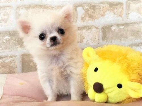 チワワ(ロング)の子犬(ID:1239211191)の1枚目の写真/更新日:2018-02-01