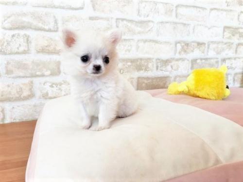 チワワ(ロング)の子犬(ID:1239211191)の2枚目の写真/更新日:2018-02-01