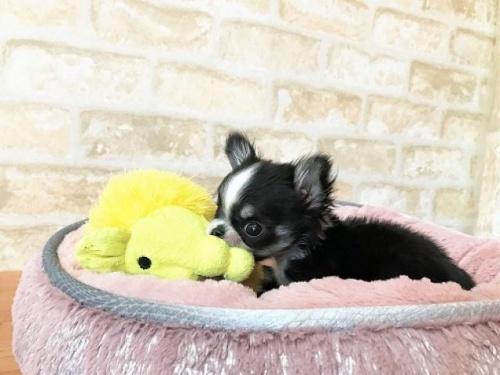 チワワ(ロング)の子犬(ID:1239211192)の3枚目の写真/更新日:2018-02-27