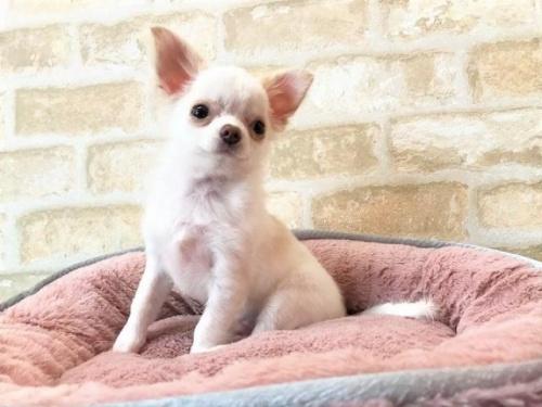 チワワ(ロング)の子犬(ID:1239211193)の1枚目の写真/更新日:2018-05-28