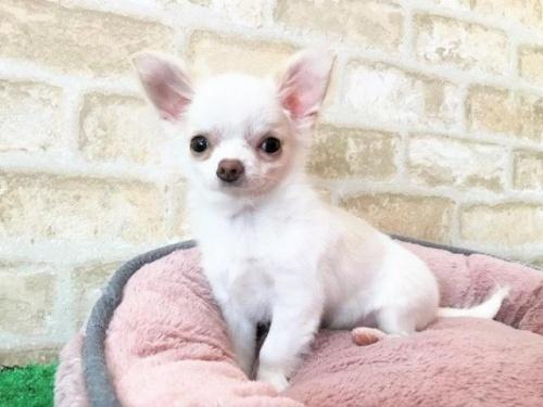 チワワ(ロング)の子犬(ID:1239211193)の2枚目の写真/更新日:2018-05-28