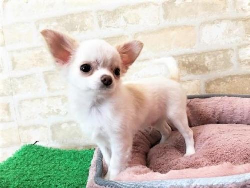 チワワ(ロング)の子犬(ID:1239211193)の3枚目の写真/更新日:2018-05-28