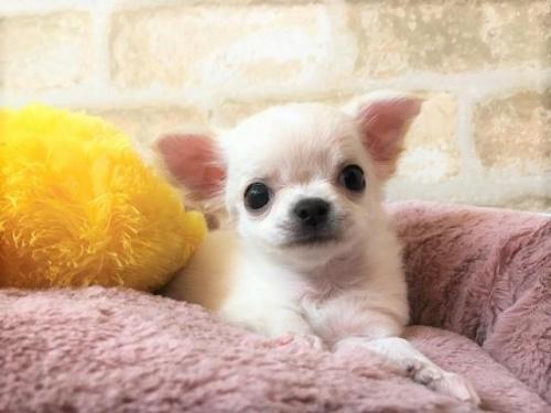 チワワ(ロング)の子犬(ID:1239211194)の1枚目の写真/更新日:2018-04-23