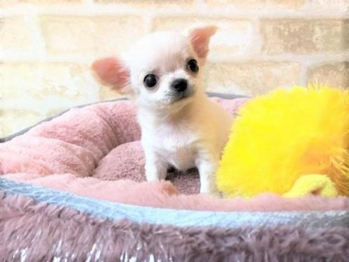 チワワ(ロング)の子犬(ID:1239211194)の3枚目の写真/更新日:2018-04-23