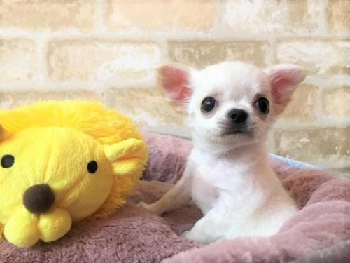 チワワ(ロング)の子犬(ID:1239211194)の4枚目の写真/更新日:2018-04-23