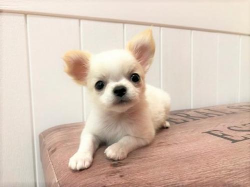 チワワ(ロング)の子犬(ID:1239211195)の1枚目の写真/更新日:2018-06-03