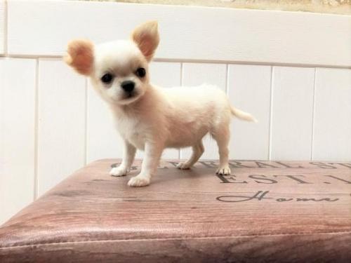 チワワ(ロング)の子犬(ID:1239211195)の2枚目の写真/更新日:2018-06-03