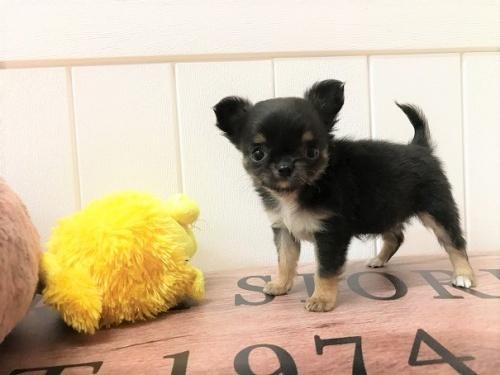 チワワ(ロング)の子犬(ID:1239211196)の1枚目の写真/更新日:2018-06-03