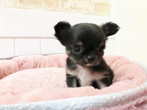 チワワ(ロング)の子犬(ID:1239211196)の10枚目の写真/更新日:2018-06-03